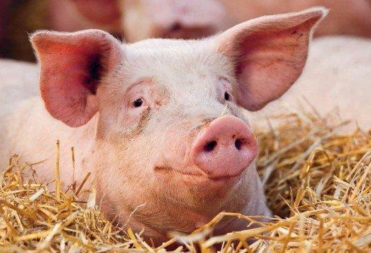 Glade Grambogård grise