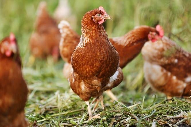 Viden Om: Økologisk ægproducent